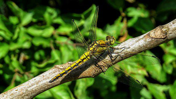 Dragonfly, Macro, Nature, Insect