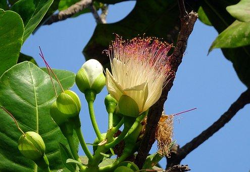 Flower, Sea Poison Tree, Fish Poison Tree, Mangrove