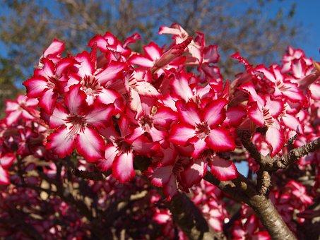Adenium Multiflorum, Impala Lily, Flower, Plant, Nature