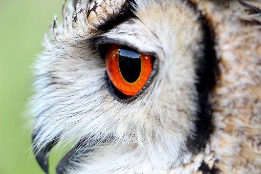 Hornugle, Owl, Eye