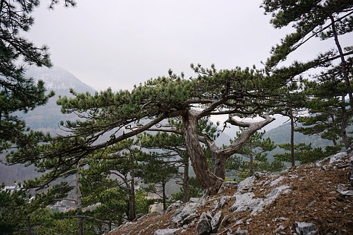 Black Pine, Pine, Pinus Nigra, Conifer, Tree, Landscape
