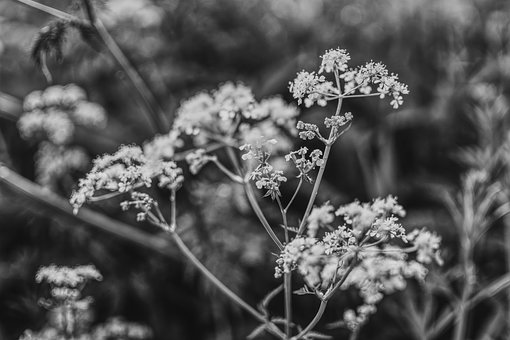 Aegopodium Podagraria, Black White, Plant