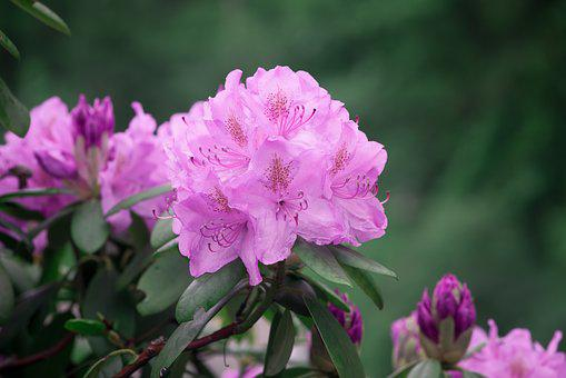 Rhododendrons, Rhododendron, Pink, Spring, Flowers