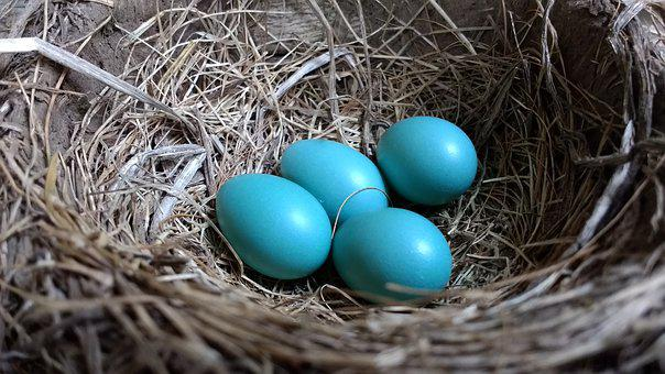 Robin, Robin Eggs, Nest, Four, Baby Blue, Spring, Egg
