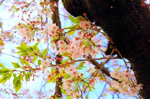 Cherry Blossoms, Spring, Flowers, Sakura, Japan