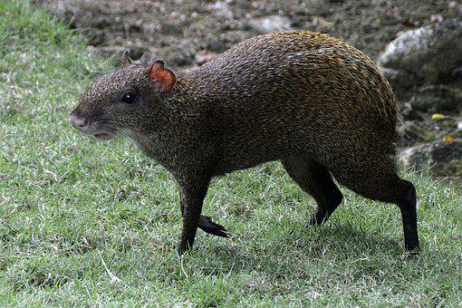 Agouti, Rodent, Animal, Creature, Sharp Teeth, Acouchis