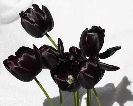 Tulip, Tulips, Purple, Velvet, Shine, Flower