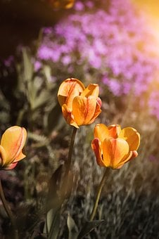 Tulips, Flowers, Orange, Orange Yellow, Red Yellow