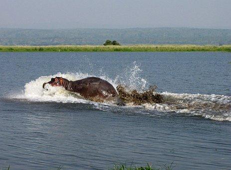 Hippo, Nile, Uganda