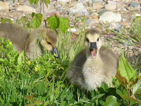 Chicks, Wild Goose, Canada Goose