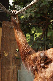 Zoo, Orang-utan, Young Animal, Motherly Love, Mammal