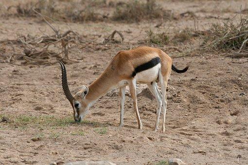Gazelle, Kenya, Safari, Africa, Wild