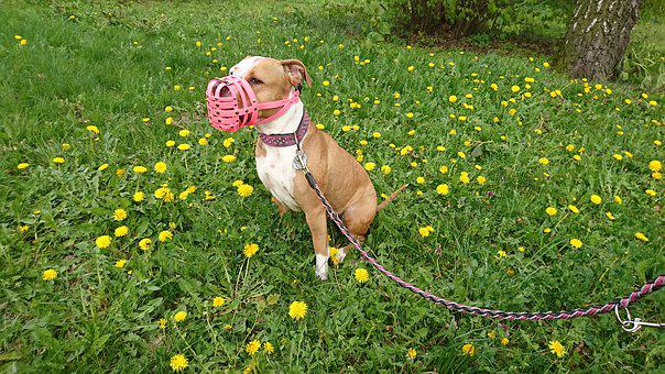 Amstaff, Dog