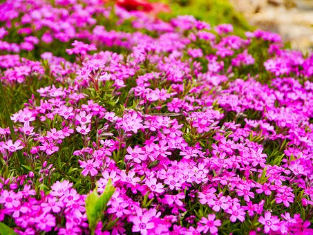 Phlox, Flower Garden, Flower, Blossom, Bloom