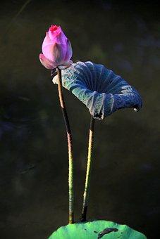 Lotus, Bud, Mein, Buddhism, Green, Lotus Leaf