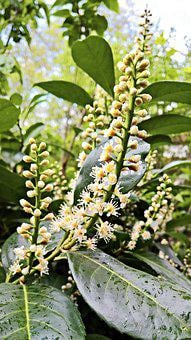 Cherry Laurel, Hedge Plant, White Flowers Grapes