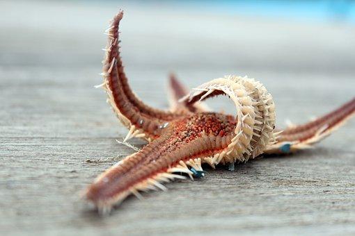 Starfish, Dry, Sea Animal, Port, Scent Of The Sea, Sea