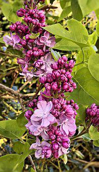 Lilac, Flower Branch, Violet, Double-filled Flowers