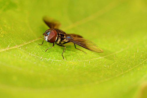 Insect, Fly, Beronha