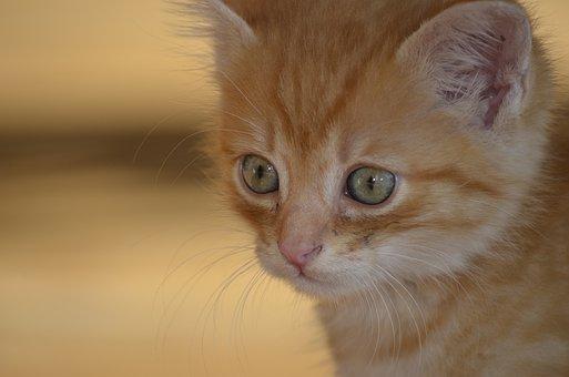 Cat, Portrait, Kitten