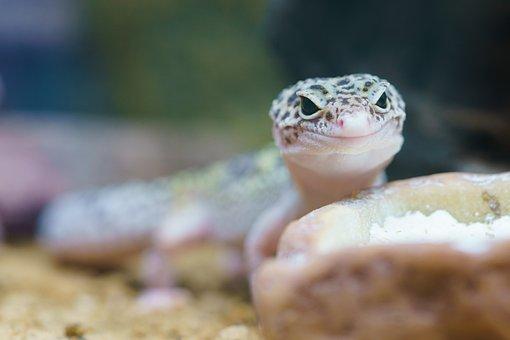 Gecko, Reptile, Terrarium, Lizard, Macro