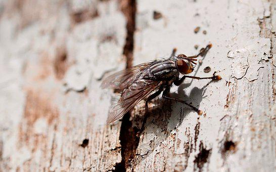 Insect, Fly, Nature, Flyer, Mosquito