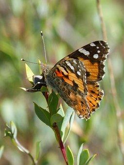 Butterfly, Vanessa Cardui, Orange Butterfly