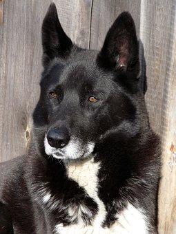 Dog, Laika, Pets, Animals, Man's Best Friend, Devotion