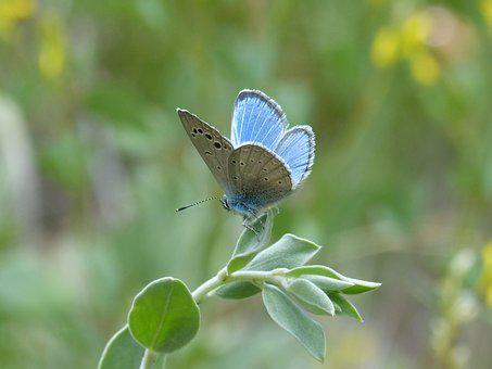 Pseudophilotes Panoptes, Blue Butterfly, Butterfly