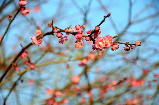 Plum Blossom, The Scenery, Spring