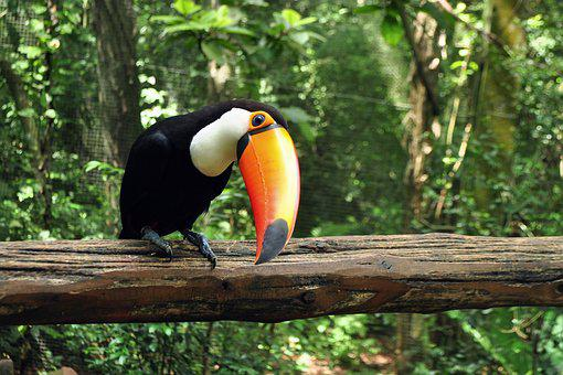 Animals, Tropical Bird, Ave, Toucan, Nature, Birds