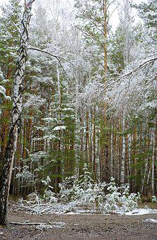 Forest, Spring, Snow In May, Nature, Trees