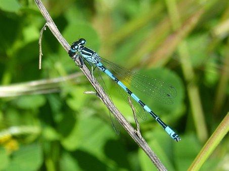Dragonfly, Blue Dragonfly, Coenagrion Hastulatum
