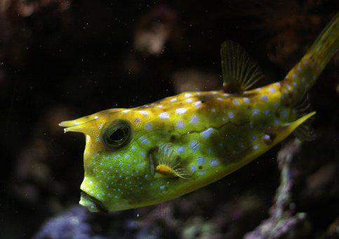 Kuhfisch, Fish, Underwater, Boxfish, Horned, Maritime