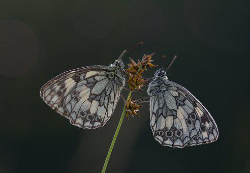 Chess Board, Butterfly, Edelfalter, Insect, Nature