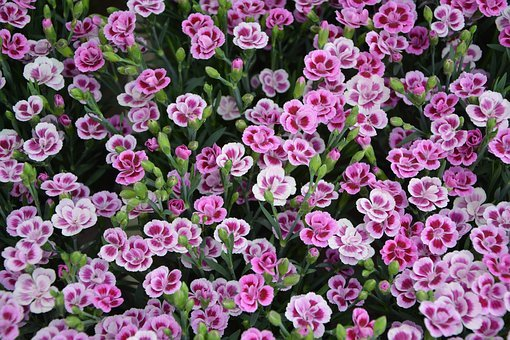 Carnation-dwarf, Flowers, Roses, White, Color Pink