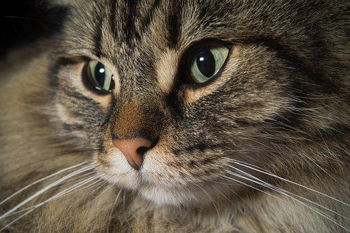 Cat, Norwegian Forest Cat, Cat's Eyes, Cute, Ears, Head