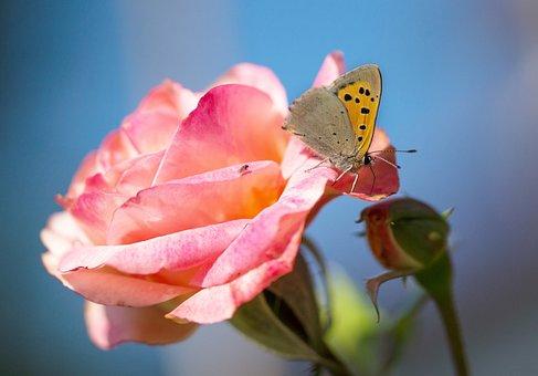 Rose, Flower, Blossom, Bloom, Butterfly, Fire Falter