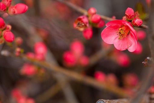 Flower Photography, Flower, Red Flower, Plum
