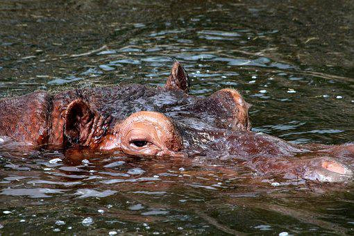 Hippo, Hippopotamus Amphibius, Head, Water, Animal