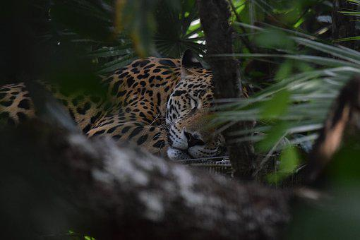 Jaguar, Belize, Zoo, Rescue, Nature, Wildlife, Big