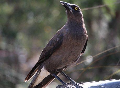 Currawong, Grey Currawong, Australian Bird, Large Bird