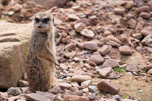 Animal, Fur, Nature, Meerkat, Curious, Vigilant, Mammal