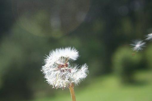 Dandelion, Spring, Flower, Nature, A New Beginning