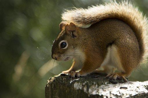 Squirrel, Red Squirrel, Animal, Nature, Wildlife, Cute