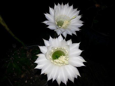 Cactus Flower, Flower, Cactus, Plant, Nature, Garden