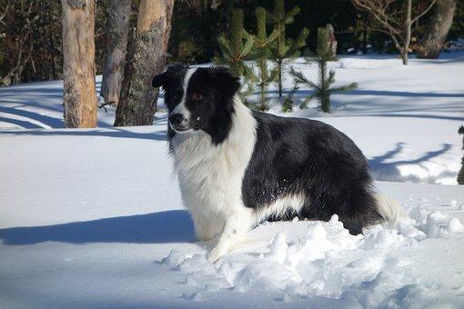 Border Collie, Dog, Animals, Black, Snow