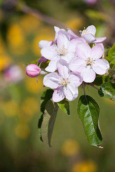 Flowers, Apple Tree In Flower, Spring