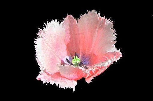 Tulip, Tulips, Pink Tulip, Pestle, Bloom, Bulbs