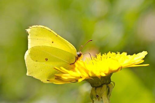 Butterfly, Drexel, Yellow, Dandelion